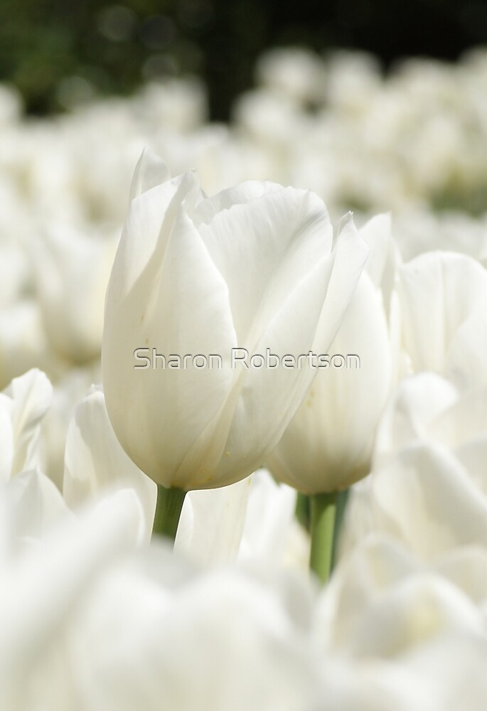 White Up High by Sharon Robertson