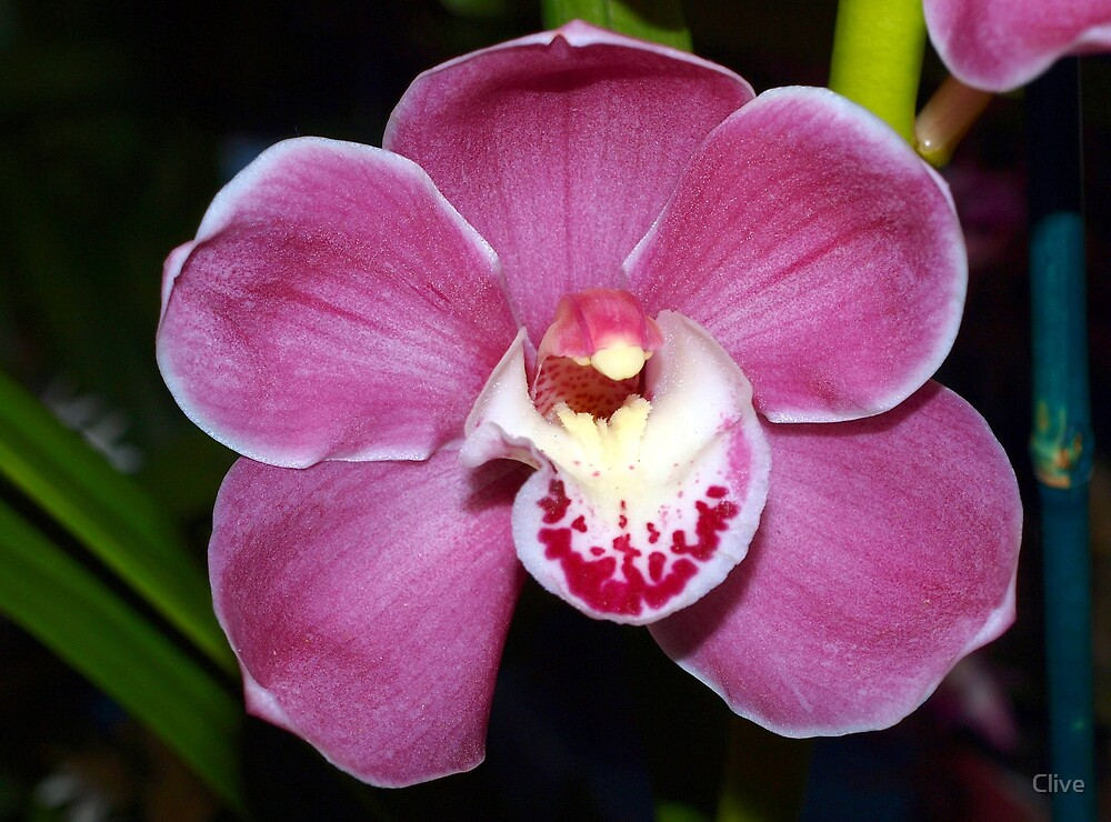 The Orchid - Cym Alexandra's Flame 'Pink Impression' by Clive