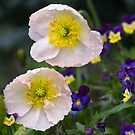 Poppies come in Twos by Clare Colins