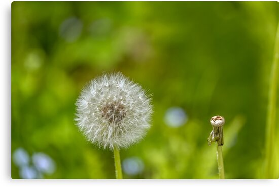 Dandelion in green background by Geraldas Galinauskas