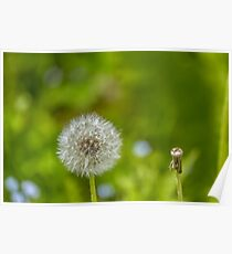 Dandelion in green background Poster