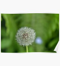 One dandelion growing in the woods Poster