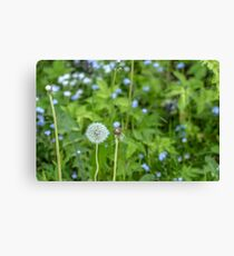 Dandelion growing in the grass Canvas Print
