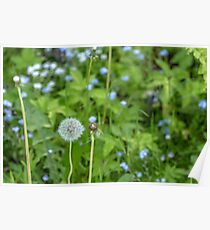 Dandelion growing in the grass Poster