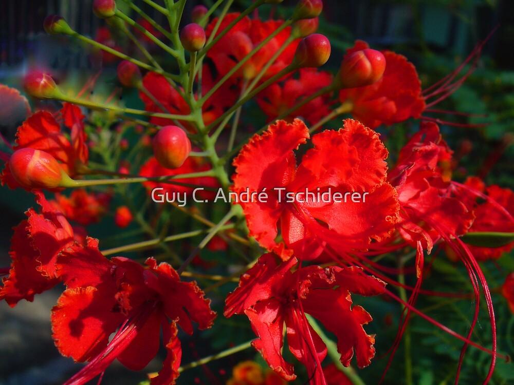 Red Bushflowers by Guy C. André Tschiderer