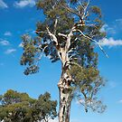 Gumtree in all its Glory by Pauline Tims