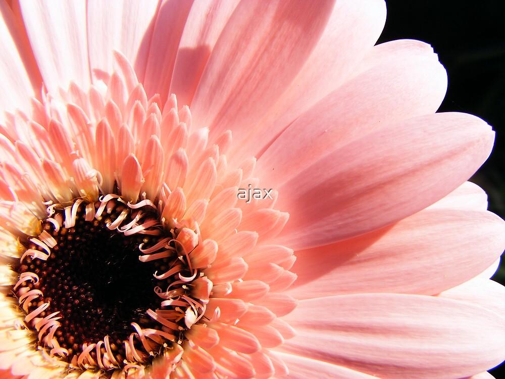 Pink gerbera by ajax