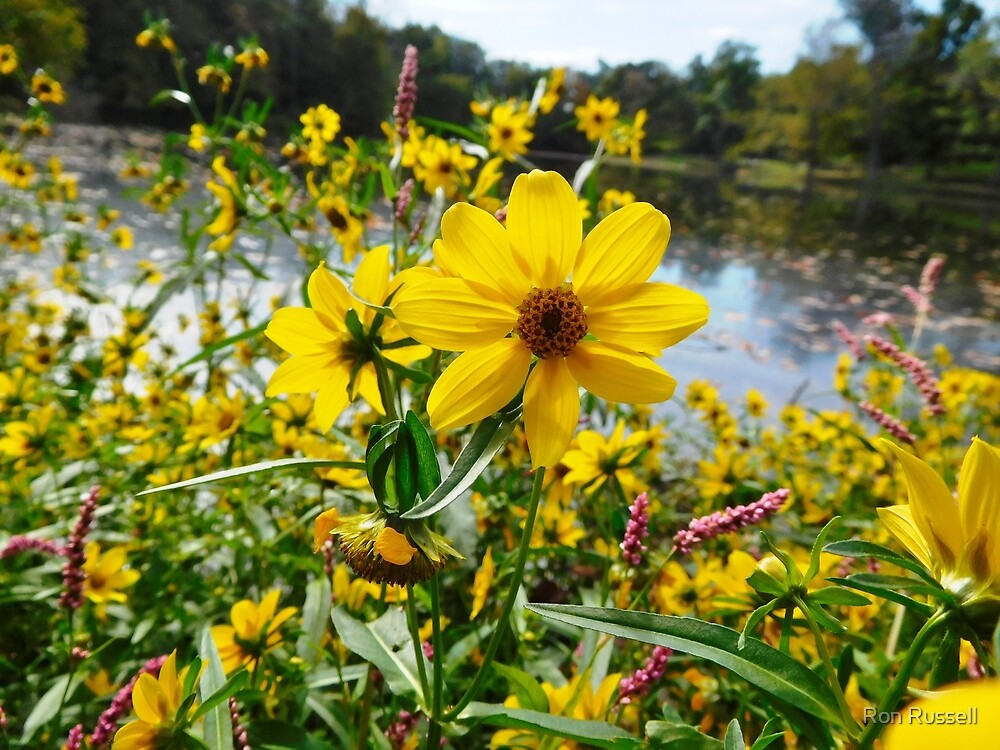 Ten-Petal Sunflower by Ron Russell