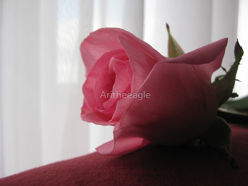 Ari's NATURE EYE: When the Rose is Faded  by Aritheeagle