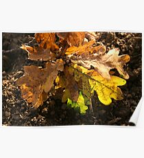 oak leaves Poster