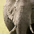 Portrait of an elephant - 1 by Yves Roumazeilles