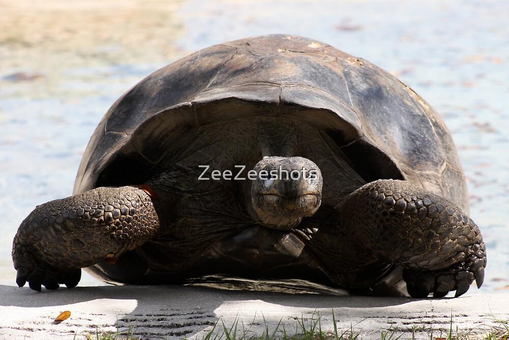 A Large Turtle  by ZeeZeeshots
