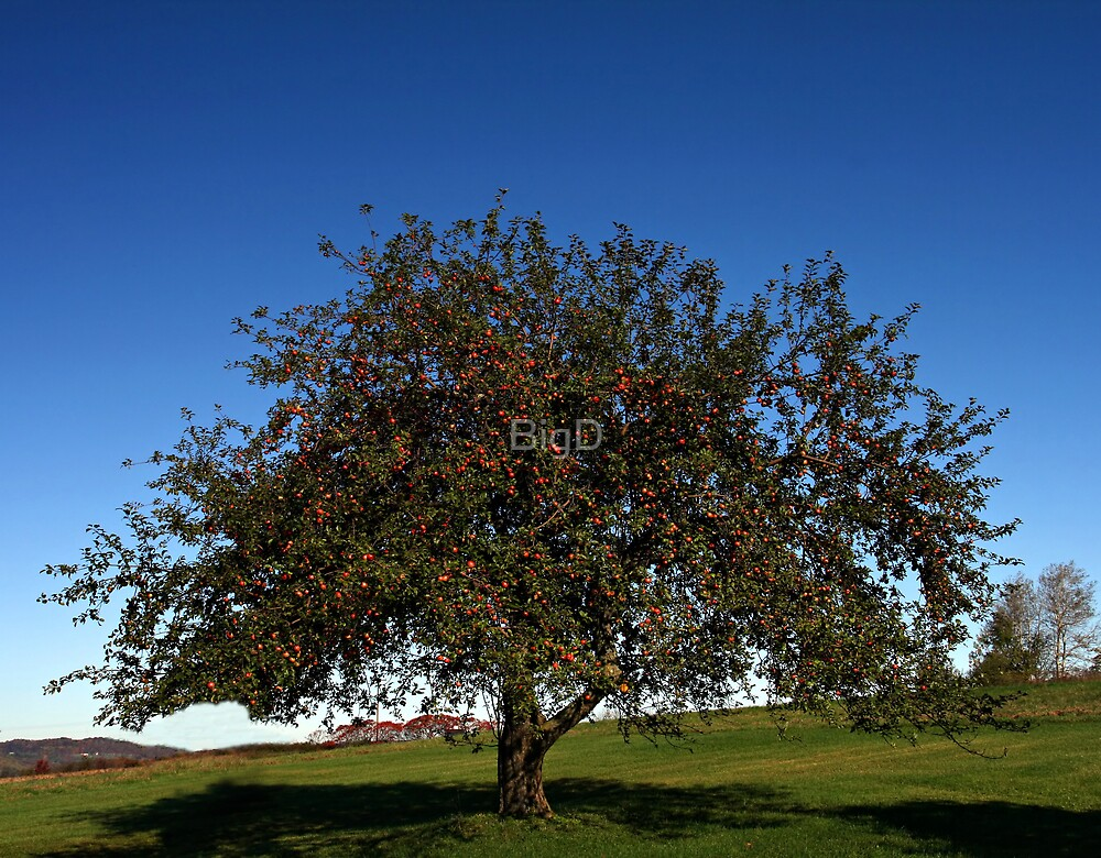 Our Apple Tree by BigD