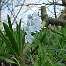 Striped Squill by Circe Lucas
