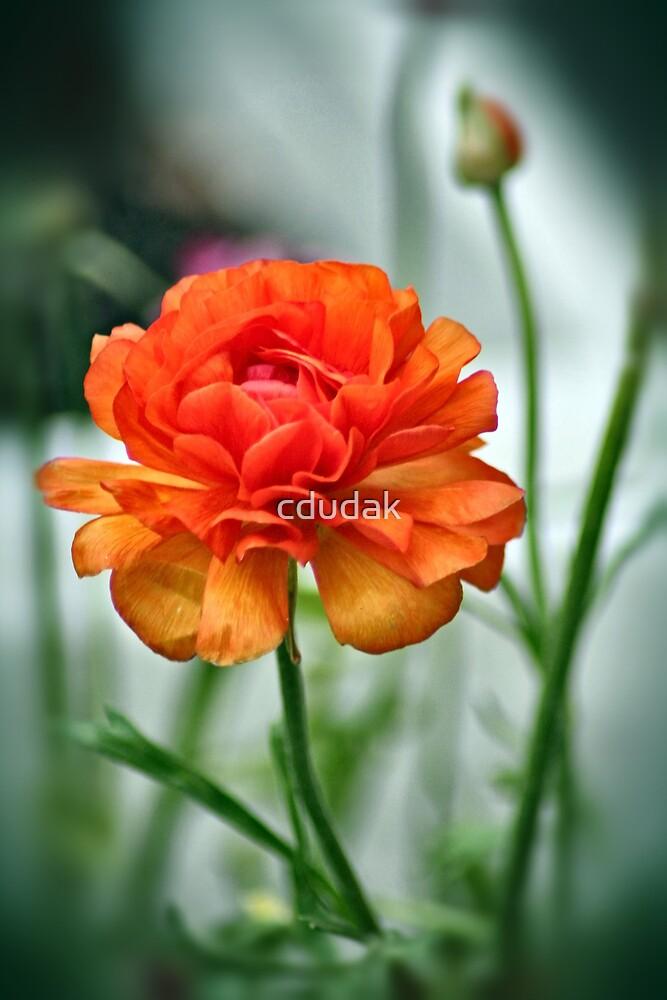 Beauty In Orange by cdudak