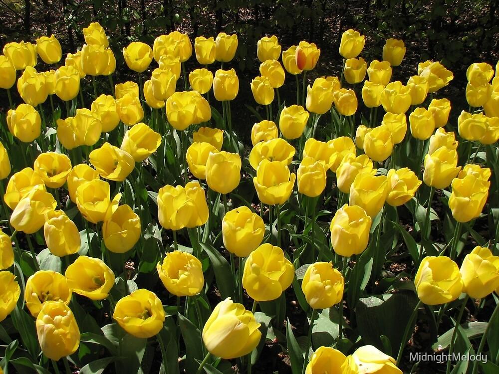 Golden Dreams - Tulips in the Keukenhof Gardens by MidnightMelody