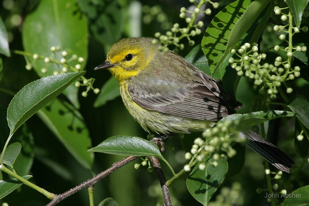Female Cape May Warbler by John Absher