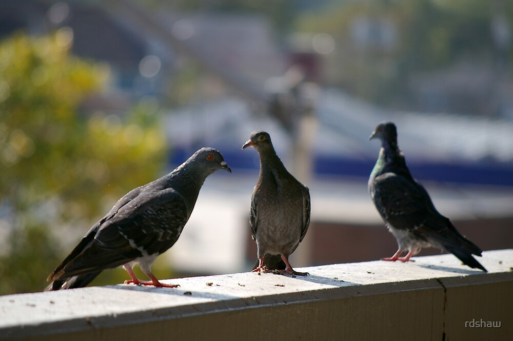 Pigeon Conversation by rdshaw