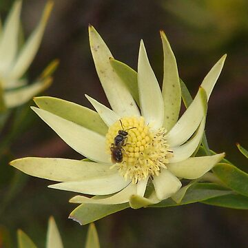 Leucadendron - male flower (Conebush) by shaswa