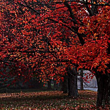 Maples - Dressed in the Fiery Colors of Fall by rural-guy