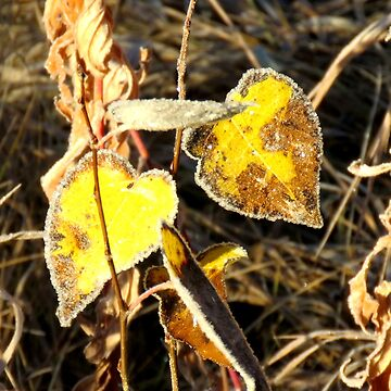 Autumn Leaves Outlined With Frost by MaeBelle