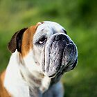 olivia english bulldog taken at central victoria goldfields by Brian Northern