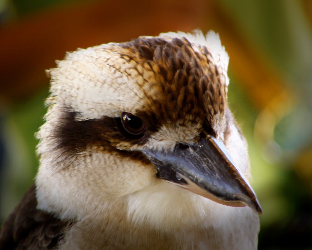 Kookaburra by Emjay01
