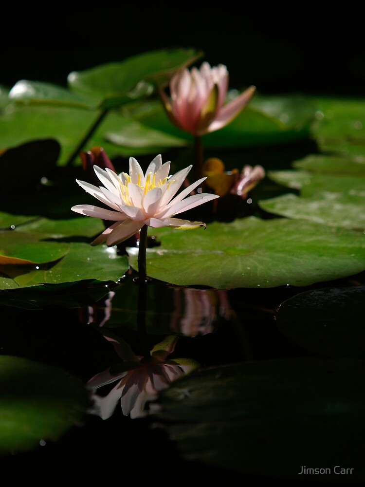 Water Lillies by Jimson Carr