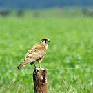Brown Falcon from the Silver Falcon 1 by Biggzie
