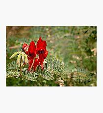 Sturt Desert Pea Photographic Print