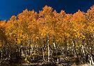 Aspens on Fire by photosbyflood