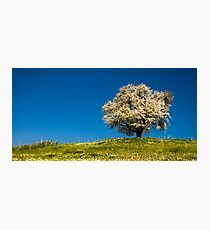 Single blossoming tree Photographic Print