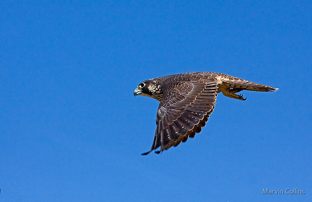 Falcon by Marvin Collins