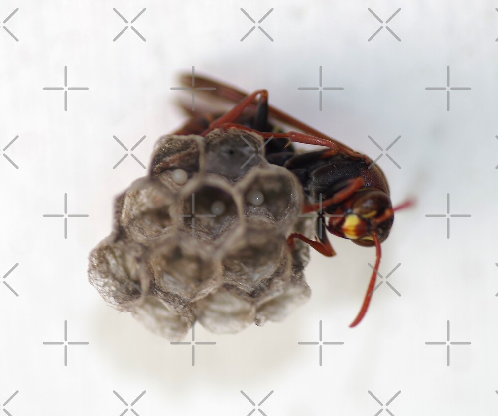 Wasp Eggs  by rom01