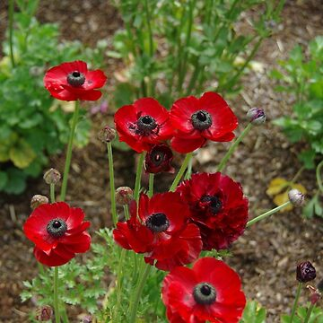 Scarlet Poppies by Ainslie1