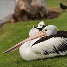 Pelican by SusanAdey