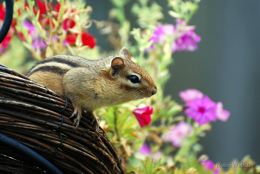 The Adventures of Chippy Chipmunk by Robin Webster