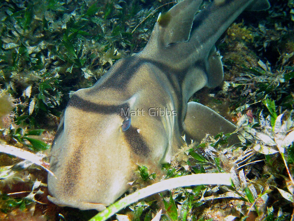 Port Jackson Shark by Matt Gibbs