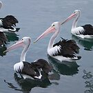 Pelicans on parade. by johnrf