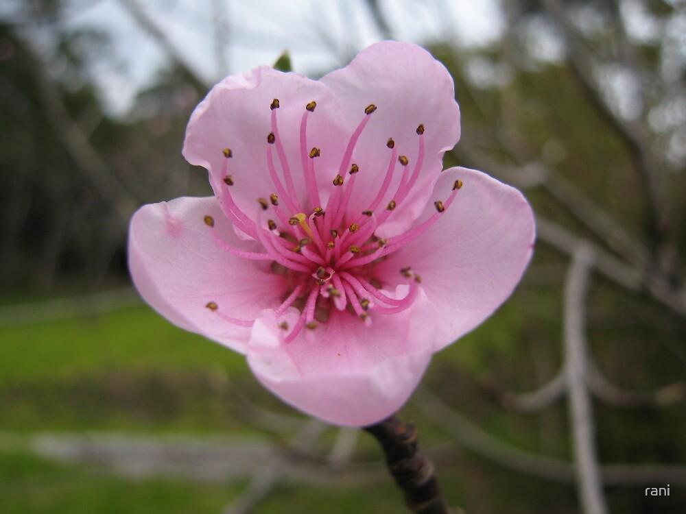 Warby blossum by rani