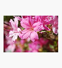 Rhododendrum Photographic Print