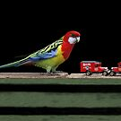 Eastern Rosella - Gippsland, Victoria by Bev Pascoe