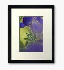 Blue lupin (Lupinus pilosus) in the rain with Water droplets on a leaf Framed Print