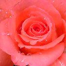 Raindrops on a Himalayan Rose by DeborahDinah