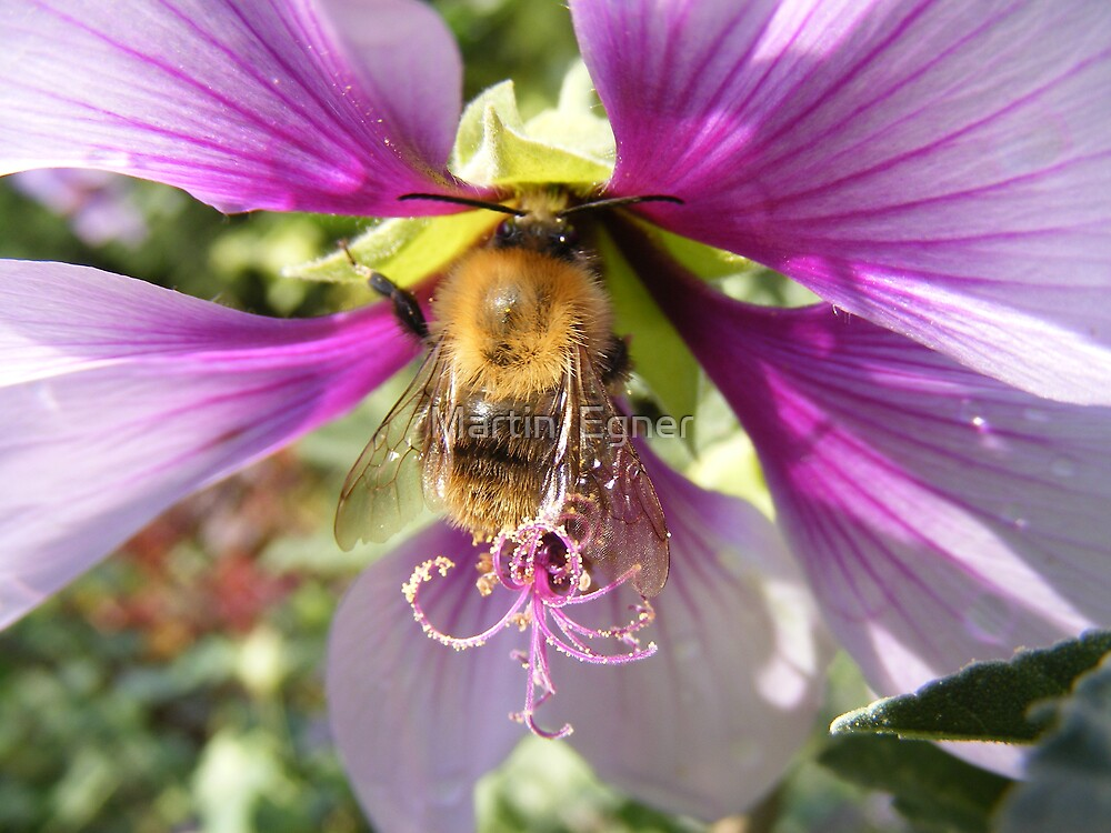 Honey bee, Busy at work by Martin  Egner