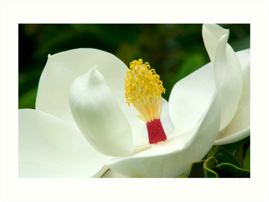 Magnolia Grandiflora - Sydney Royal Botanic Gardens, NSW by Mark Richards