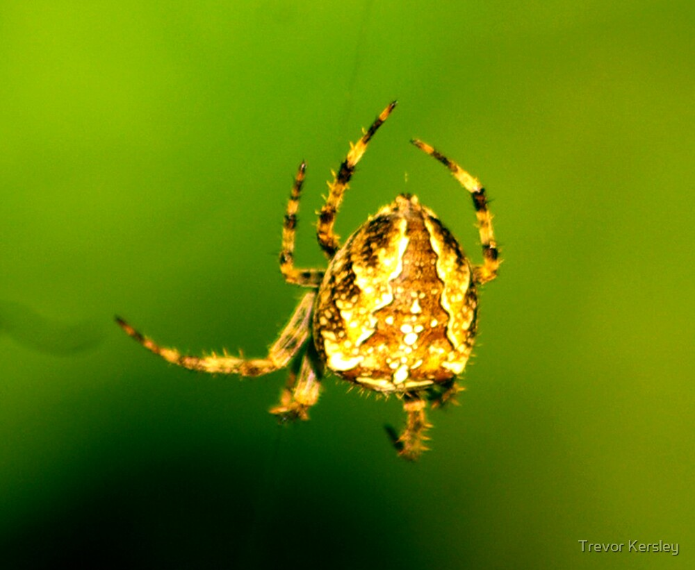 Spider by Trevor Kersley