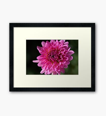 Hot Pink Dahlia Framed Print