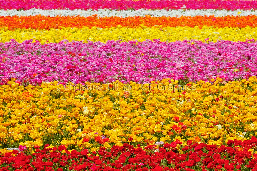 Giant Ranunculus Flower Fields Carlsbad, CA by Christine Till  @    CT-Graphics