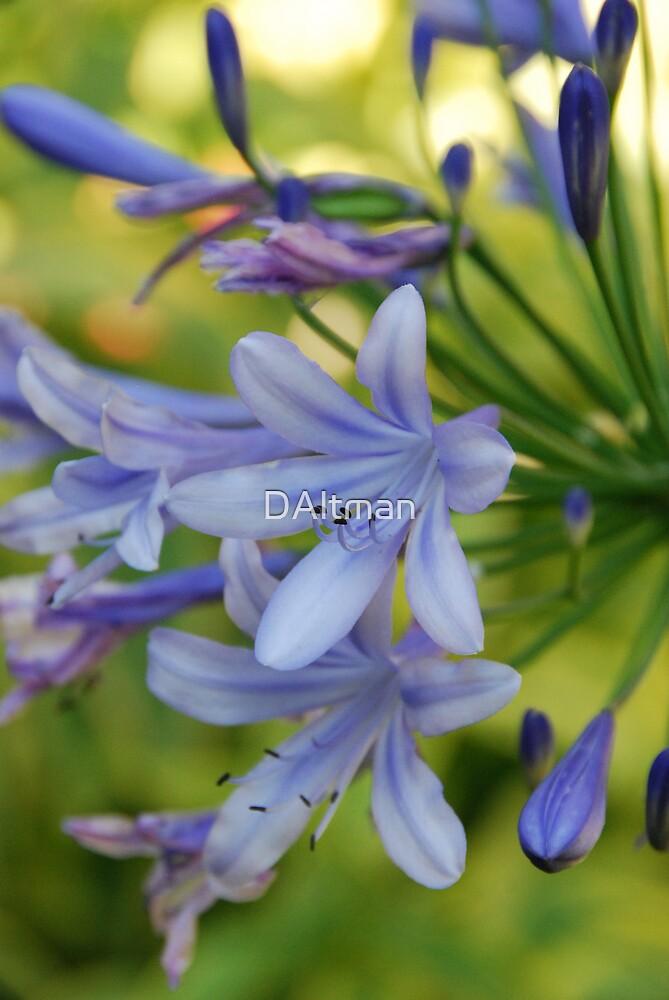 Purple Agapanthus by DAltman